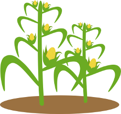 Illustration of corn plant